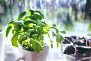 Odla egna kryddor i ditt fönster